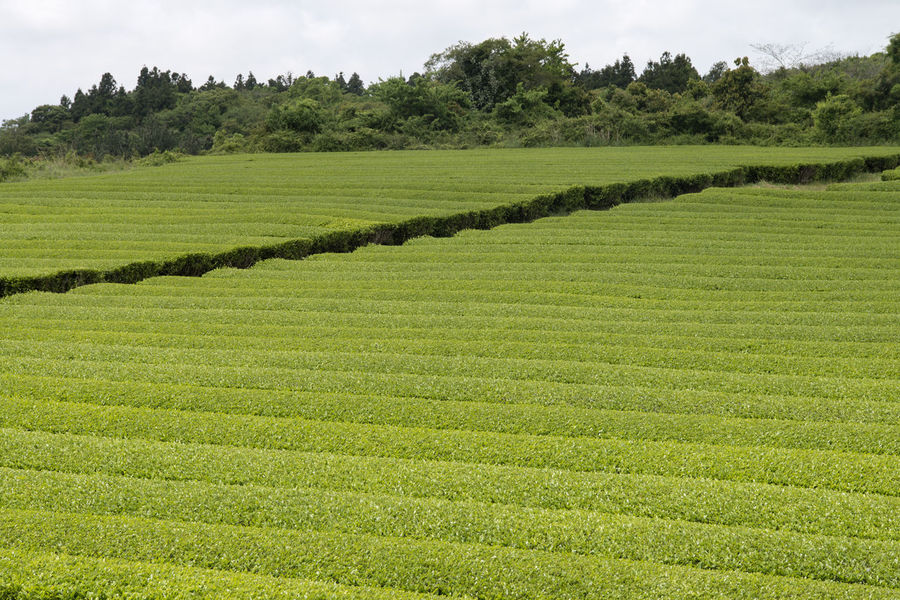 landscape of green tea field at Osulloc in Jeju Isand, South Korea Agriculture Beauty In Nature Day Farm Field Grass Green Color Green Tea Field Growth JEJU ISLAND  Landscape Nature No People Osulloc Outdoors Rural Scene Scenics Sky Tea Crop Tranquil Scene Tranquility Tree