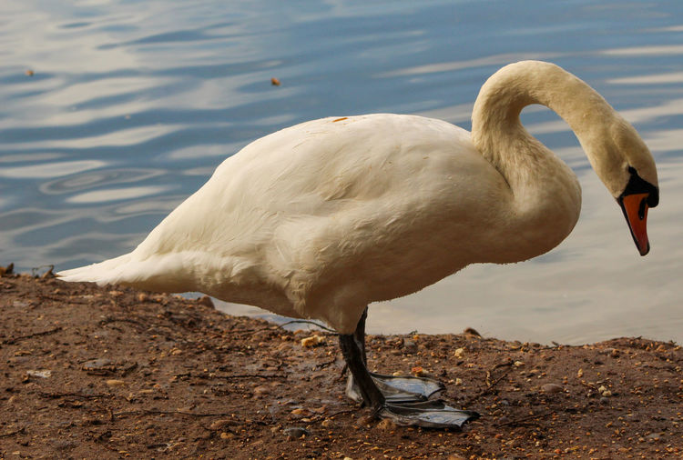 View of swan drinking water at lakeshore