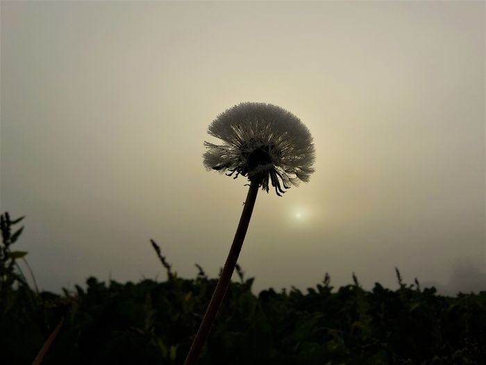 Löwenzahn im Morgennebel Nature Growth Flower Plant Outdoors Fragility Uncultivated No People Sunset Beauty In Nature Day Close-up Sky Thistle Freshness Flower Head