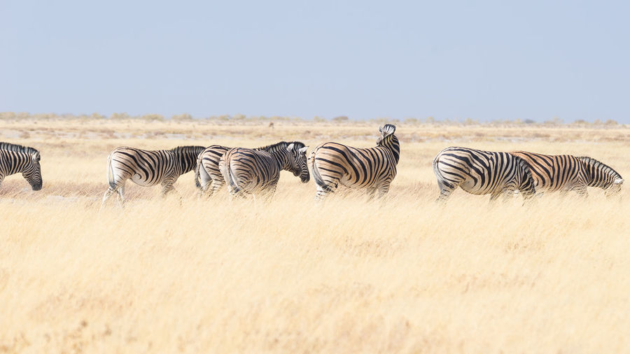 Zebras in a field