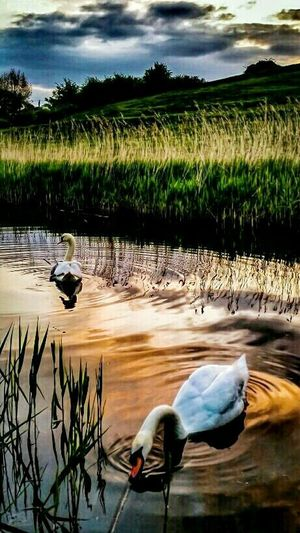 'Swanning around' (the mother swan is hiding 4 or 5 tiny cygnets under her wings) 😍 ... My dear friend is often sending me edits of my captures. They are always beautiful, but this one I knew straightaway I had to share with you. We both love ballet so this link is the obvious choice! 👉 http://youtu.be/JDfFAljt4JM EyeEm Nature Lover EyeEm Best Edits Friends Tadaa Community Malephotographerofthemonth Streamzoofamily For My Friends That Connect Swans Birds_collection Ribena Edit