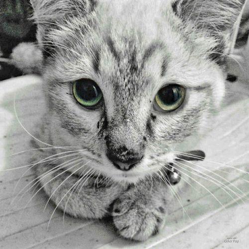 Malfoy Domestic Cat Pets Domestic Animals Whisker Feline Portrait Animal Themes