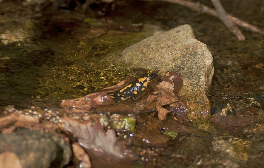 Salamandra Salamandras Montseny