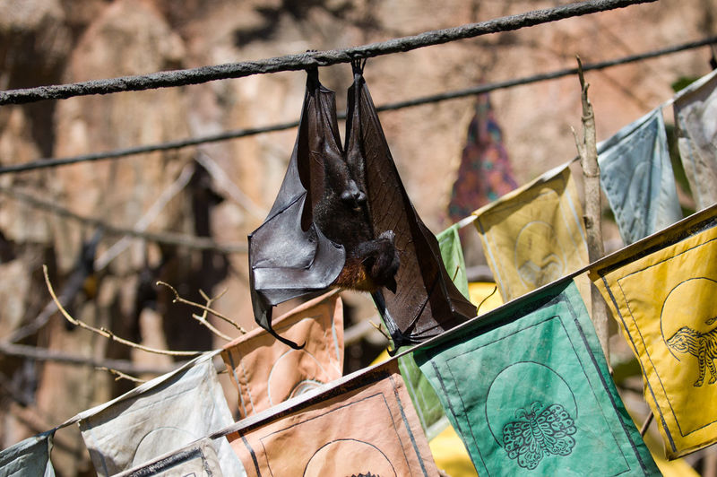 Hanging Around Animal Bat Flags Hanging Bat No People Wildlife EyeEm Nature Lover EyeEm Waterfalls