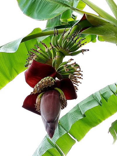 Banana Banana Tree Plant Plants And Garden Banana Fruit Fruit Banana Flower Bananatree Fruit Photography Fruits And Vegetables Fruit And Vegetable Fruit Trees Fruit Bananaflower Beautiful Nature Banana Plant Growth EyeEmNewHere