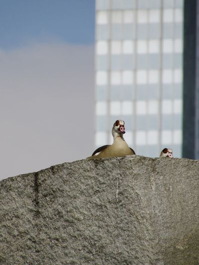 Low angle view of egyptian geese on rock against modern building