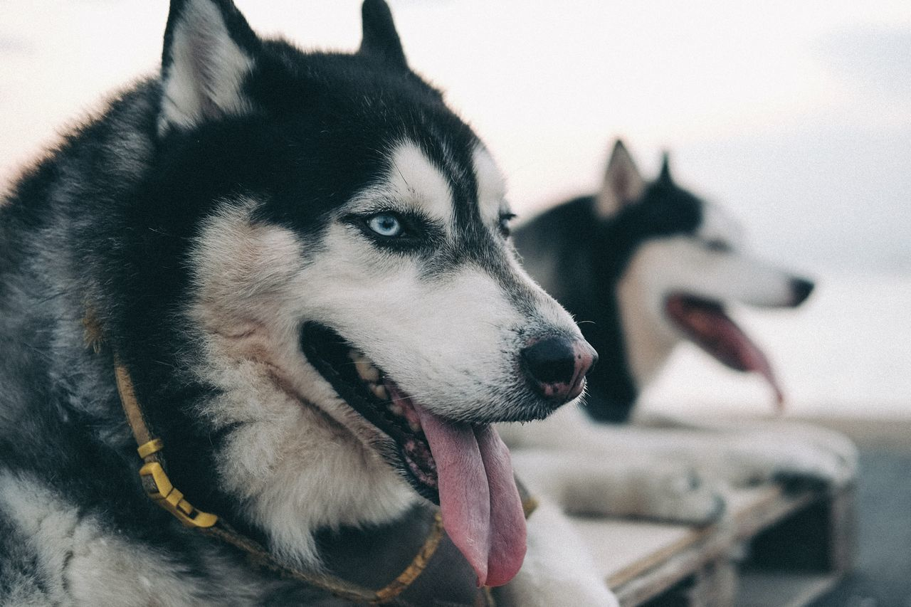 Close-up of siberian husky dogs sitting outdoors
