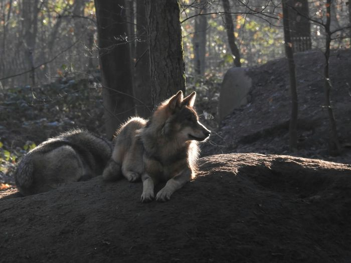 Wolf Wolfs  Forest WoodLand Tree Outdoors Tree Trunk One Animal Animal No People Check This Out Nature Photography Outdoor Photography Tiere Doğa Animals In The Wild Animals EyeEm Best Shots EyeEm Gallery From My Point Of View Animal Themes Trees Taking Photos Photography Nature Capture Tomorrow My Best Photo
