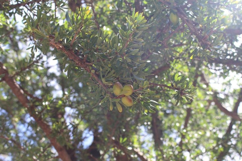 he miraculous oil, ArganOil Tree Beauty Health
