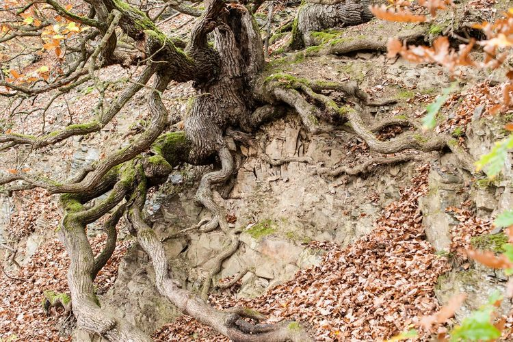 Tree roots Autumn Leaves Baumwurzeln Tree Roots On Rock Beauty In Nature Close-up Day Growth Leaf Nature No People Outdoors Pure Nature Root Textured  Tree Tree Root Collection Tree Roots  Tree Roots Growing Out Of The Ground Tree Trunk Wurzeln