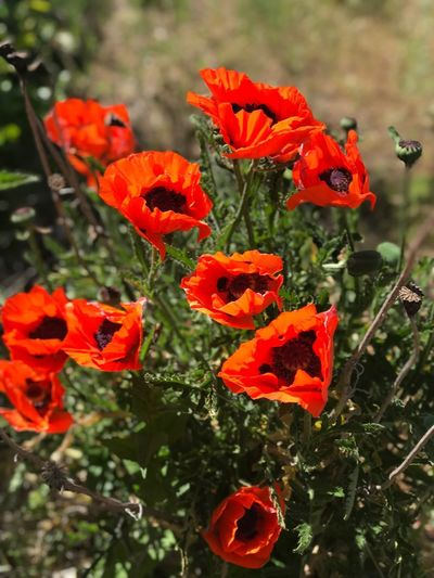 Poppies Poppies