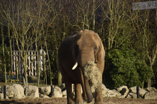 African Elephant Animal Themes Animal Wildlife Animals In The Wild Colchester Day Elephant Mammal Nature No People One Animal Outdoors Zoo