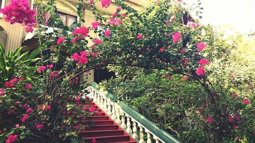 Bougainvillea doorway Bougainvillea Doorway Hamtien Phanthiet Vietnam Flower Porn