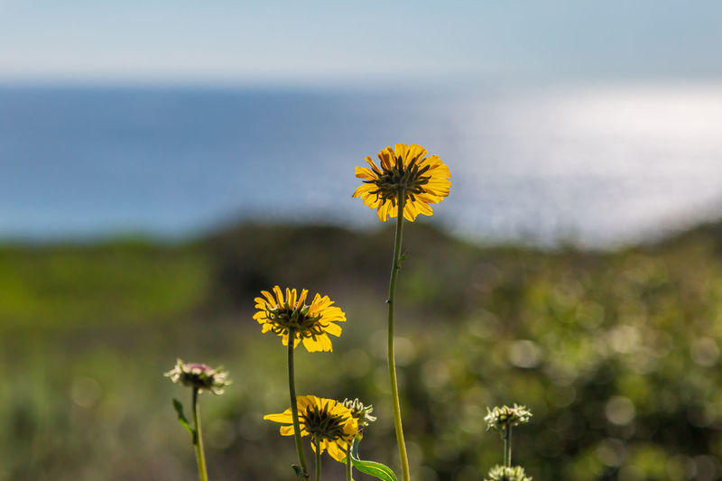 A close up of yellow daisies on a cliff and the ocean behind, with a shallow depth of field Flower Flowering Plant Fragility Freshness Vulnerability  Yellow Growth Plant Beauty In Nature Focus On Foreground Flower Head Inflorescence Land Plant Stem Field Nature Close-up Petal No People Day Outdoors Pollen