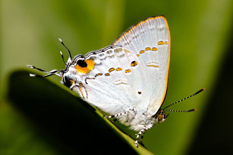 Macro Photography Philippines Travel Animal Markings Animal Themes Animal Wildlife Animal Wing Animals In The Wild Beauty In Nature Butterfly Butterfly - Insect Close-up Day Focus On Foreground Fragility Freshness Insect Leaf Macro Nature No People One Animal Outdoors Plant Spread Wings