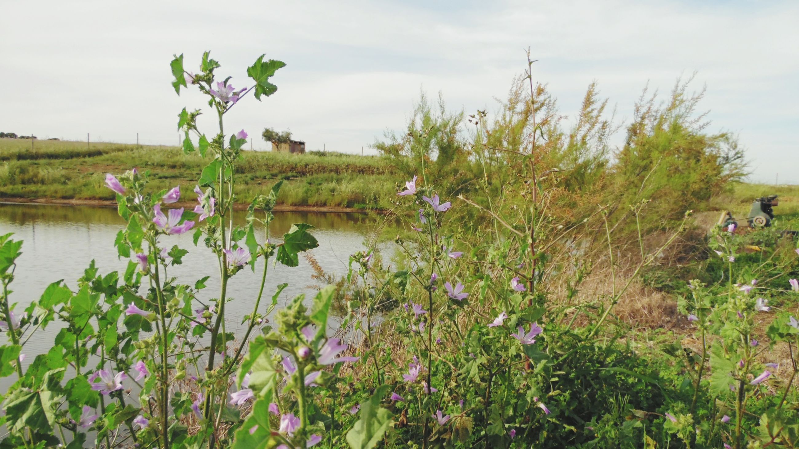 flower, growth, plant, beauty in nature, freshness, sky, water, nature, tranquility, tranquil scene, fragility, lake, growing, blooming, grass, stem, field, scenics, day, green color