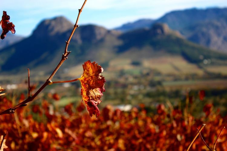 Franschhoek Autumn Autumn Colors Autumn Leaves Beauty In Nature Colorful Colors Colour Focus On Foreground Franschhoek Landscape Leaf Mountain Nature Nature Photography Nature_collection South Africa Travel Travel Destinations Travel Photography Vineyard