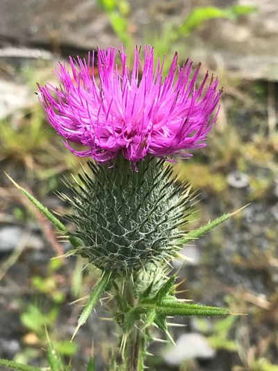 National flower of my country Scotland. A prickly jaggy thistle. Purple beauty. Freedom. Flower Nature Growth Beauty In Nature Focus On Foreground Plant Fragility Purple Close-up Thistle Day No People Outdoors Flower Head Freshness Blooming National Flower Of Scotland Scotland Jaggy Jaggy Thistle