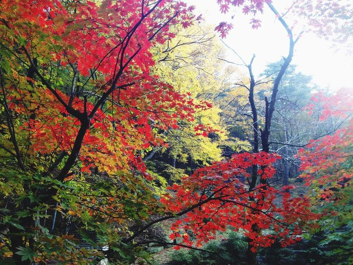Autumn Tree Change Leaf Nature Beauty In Nature Branch Growth Tranquility Maple Tree Low Angle View Day No People Outdoors Scenics Tranquil Scene Maple Leaf Maple Sky I Want To Know Your Secret, C I Always Thinking About U, G Thank You,❤️ 감사합니다