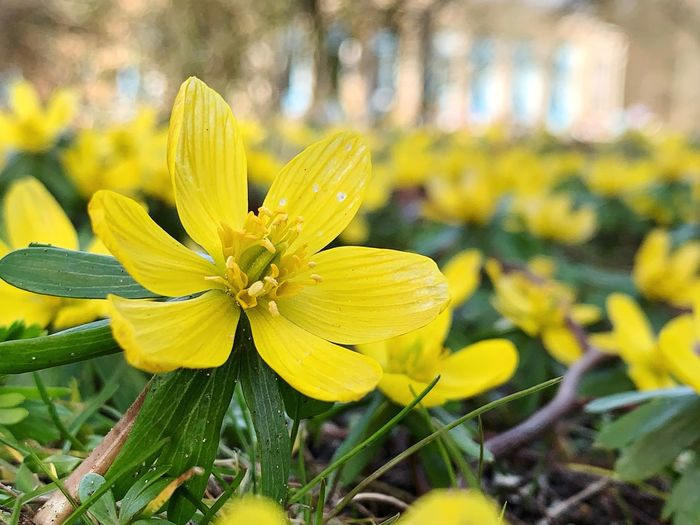 Yellow Flowering Plant Flower Plant Freshness Fragility Beauty In Nature Vulnerability  Close-up Growth Flower Head Petal Inflorescence Focus On Foreground Day Nature No People Selective Focus Outdoors Springtime