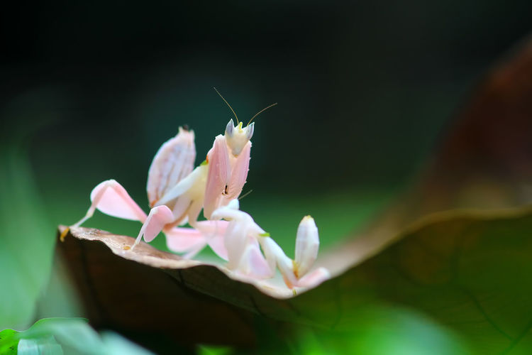 Mantis orchid on wild grass Plant Flowering Plant Flower Freshness Beauty In Nature Vulnerability  Fragility Petal Growth Selective Focus Close-up Nature Pink Color Plant Part Leaf Animal Themes No People Insect One Animal Animal Flower Head Pollination