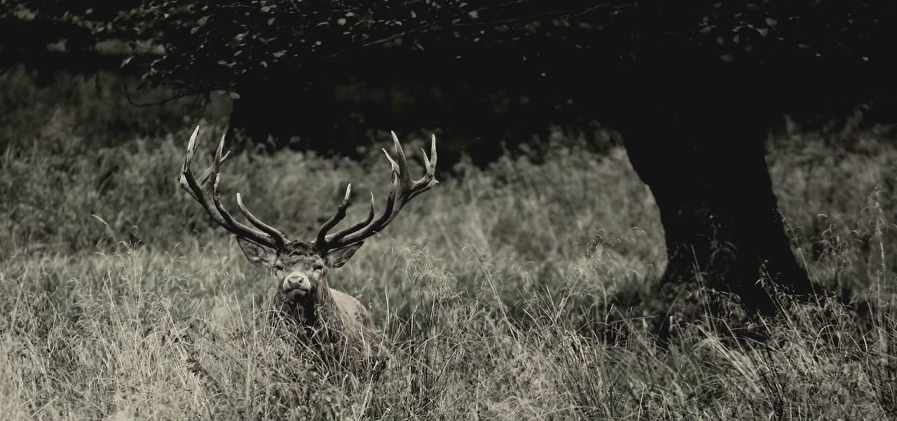 one animal, animal themes, deer, field, grass, antler, animals in the wild, mammal, outdoors, stag, nature, day, domestic animals, no people, tree, close-up
