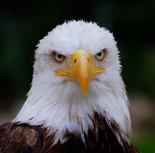 Paint The Town Yellow Bald Eagle Weißkopfseeadler Bird Bird Of Prey One Animal Animal Themes Animals In The Wild Close-up Beak Eagle - Bird Animal Wildlife Focus On Foreground Animal Head  Portrait Looking At Camera No People Nature Day Outdoors EyeEm Best Shots EyeEm Nature Lover