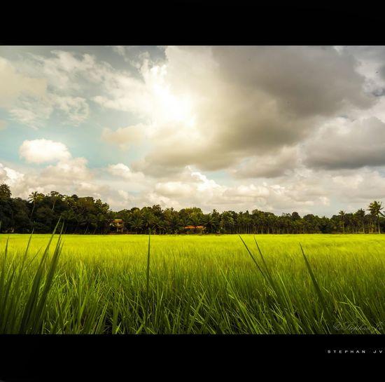 Paddy Field Clouds And Sky Paddy Sun Sunlight Scenery Landscape Kerala