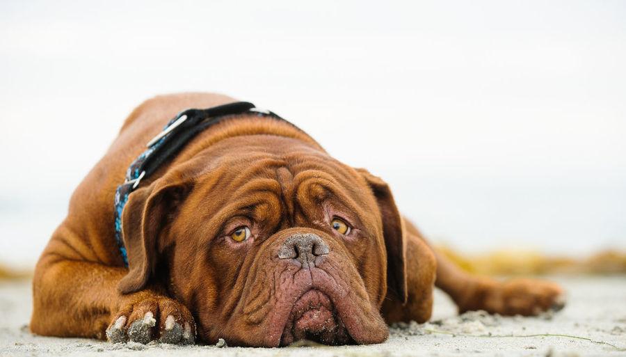 Close-up of french mastiff lying at beach