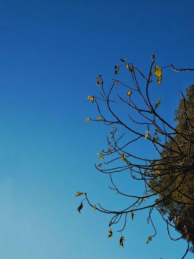 """""""Hay que buscar la belleza de lo simple, y distinguir lo simple de la simpleza"""". Rėne Lavand . !Feliz viernes amigos ! Here And Now Blue Nature Sky Tree Beauty In Nature BranchTree Treescollection Fragility From My Point Of View Ayurveda Ayurvedic EyeEmNewHere"""