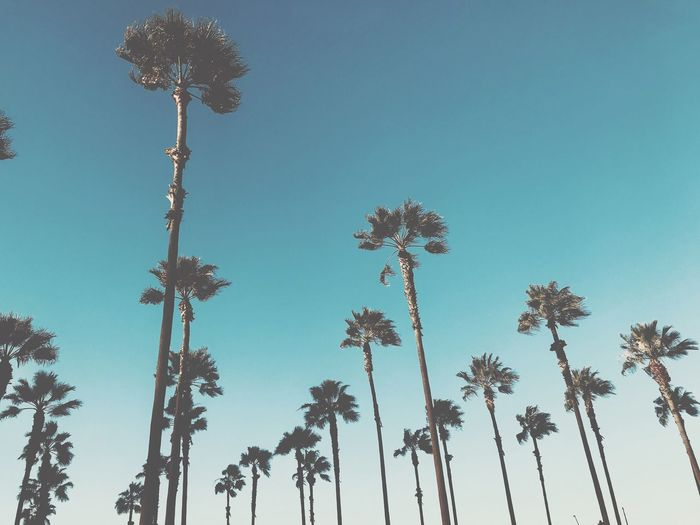 Los Angeles palm trees Palm Tree Trees Caifornia Los Angeles, California Low Angle View Palm Tree Flower Tree Growth Nature No People Day Outdoors Beauty In Nature Sky Clear Sky Blue