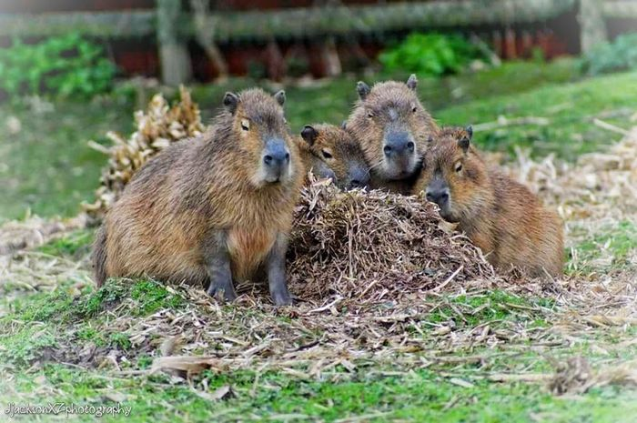 Capybara … Grass Mammal Outdoors Togetherness No People Field Nature Day Animal Wildlife Capybara Rodent Chester Zoo Wildlife & Nature Photography Zoophotography Zoo Animals  Zoo Animal Chesterzoo Animal Themes Wildlifephotography