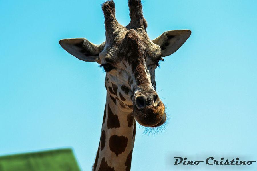 Giraffa Animali Animals Natura Selvaggia Dino Cristino Colori Contrasto Fauna Fasano Zoo Zoo Di Fasano Fotografia Naturalistica Fotografia Ritrattistica Ritratto Portrait Primo Piano
