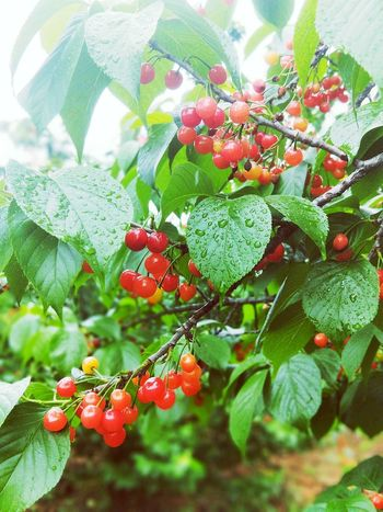 Tree Fruit Leaf Red Close-up Plant Green Color Food And Drink