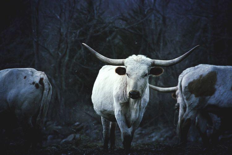 Bulls Standing On Field