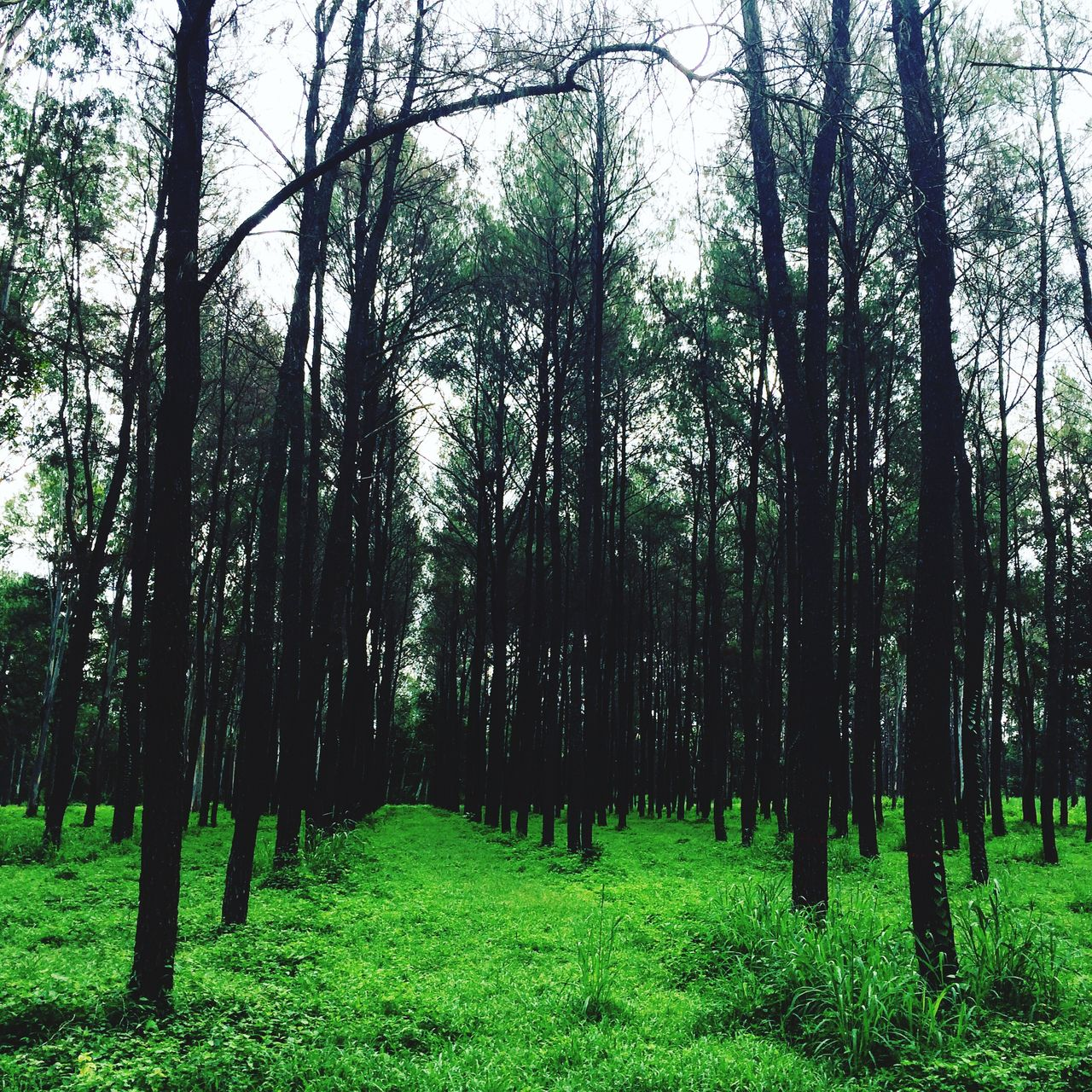 forest, tree, nature, growth, tranquility, beauty in nature, tree trunk, grass, tranquil scene, green color, landscape, scenics, no people, outdoors, day