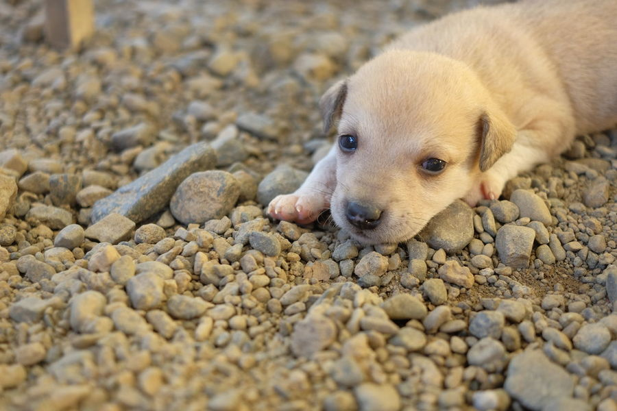Sleepy Head Sleepy Puppy Dog Puppy Puppies Philippines Nueva Ecija Pet Portraits askal Tuta