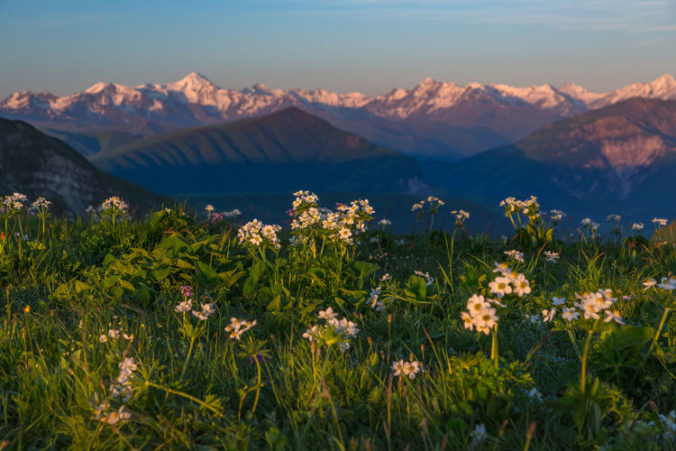 Scenic view of flowering plants on field against mountains
