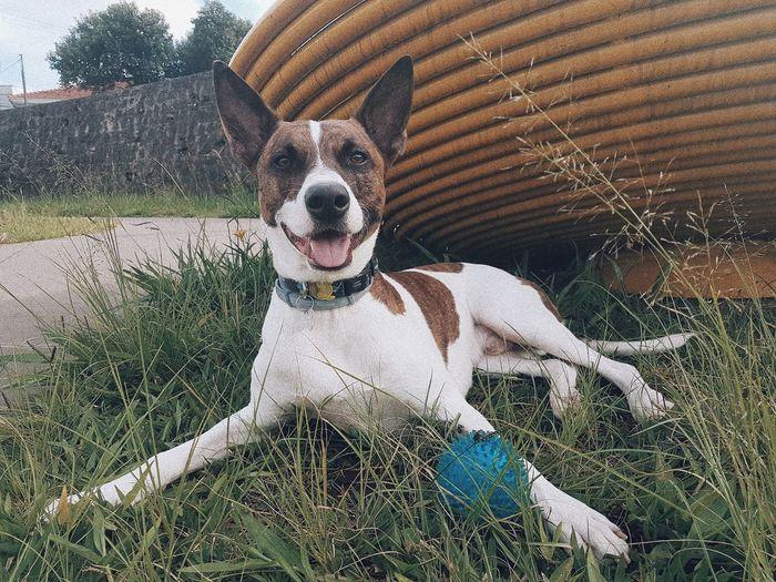 EyeEm Selects Dog Dogs Dogsofig Dogloversfeed Pit Pitbullmix Pitbull Mixedbreed Puppy PuppyLove Puppies Instadog Ilovemydog Looking At Camera Sunlight Pit Bull Terrier Canine Grassland Calm Green