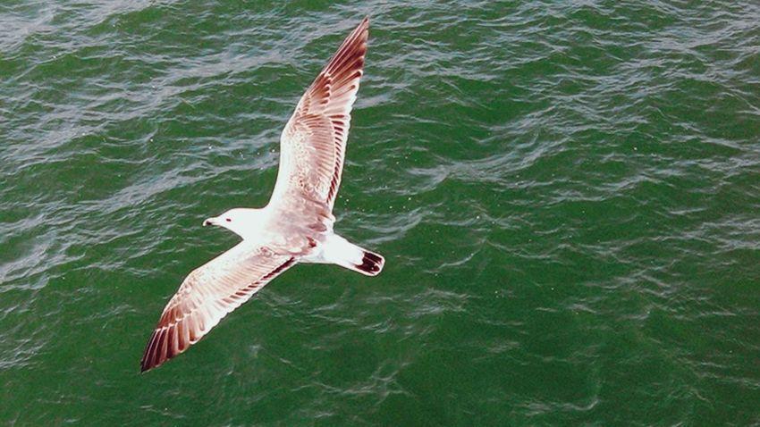 Seagull SEAGULL IN FLIGHT Seagull Serenity Seagul Birdeyeview Overseagull Birdeyeviewphotography Gaivota Flying Seagull Seabird