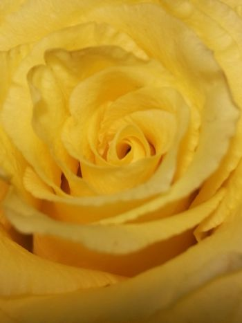 Flower Yellow Beauty Petal Rose - Flower