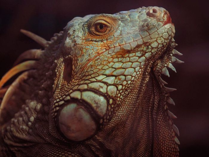 Close-up of iguana outdoors