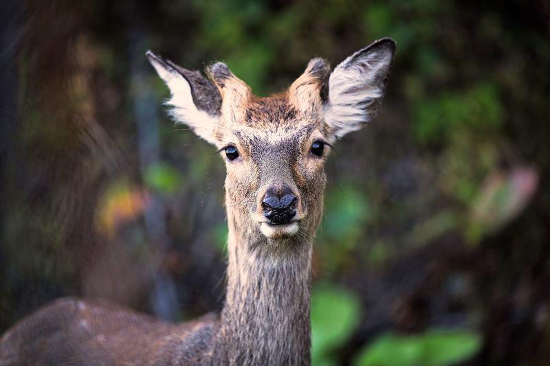Deer SIKA Sikadeer Hokkaido Sika Deer Rausu Shiretoko Hokkaido Canon5Dmk3 Japan