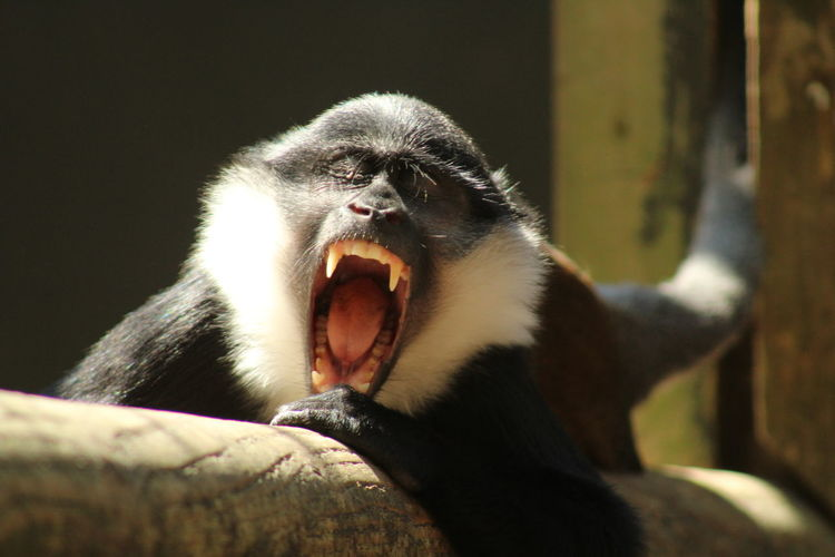 a tired little monkey. Pointy Teeth Sharp Teeth Fangs Open Mouth Zoo Animals  Zoophotography ZooLife Day Outdoors. Dayatthezoo Animal Photography Animals In Captivity One Of My Favorite Pictures  Beautiful Day Relaxed Animals Close-up Yawning Sleepy Animal Teeth Animal Mouth Animal Tongue