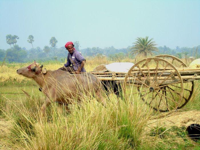 Man riding on bullock cart against sky