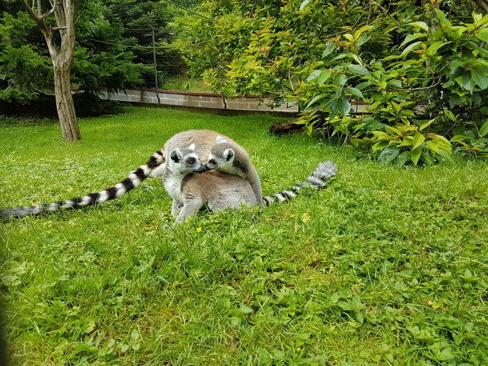 Lemur Love Monkey CaptionThis Zoo S7edge