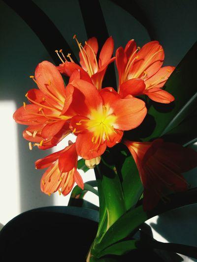 Flora Zimmerpflanze Zimmerblume Clievie Wohnzimmer Abendsonne Blütenzauber Blüten Blütenpracht Blütenschönheit Blütenrausch Klievie Fauna No People