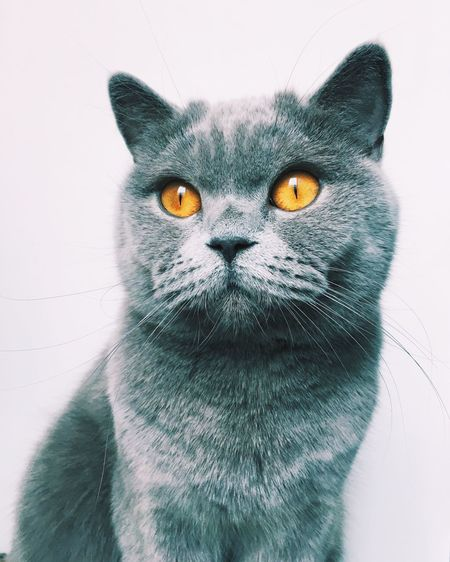 Pets Domestic Cat Domestic Animals One Animal Animal Themes Mammal Feline Looking At Camera Yellow Eyes Whisker Close-up Portrait White Background Indoors  No People Day Cat British Shorthair