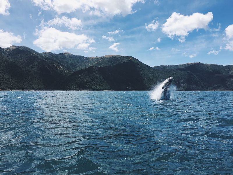 jump lil whale jump!! Jump Whale Humpback Whale Beauty In Nature Mountain Animal Themes Nature Sky Sea Water Animals In The Wild One Animal Outdoors Mountain Range Swimming Aquatic Mammal Sea Life No People