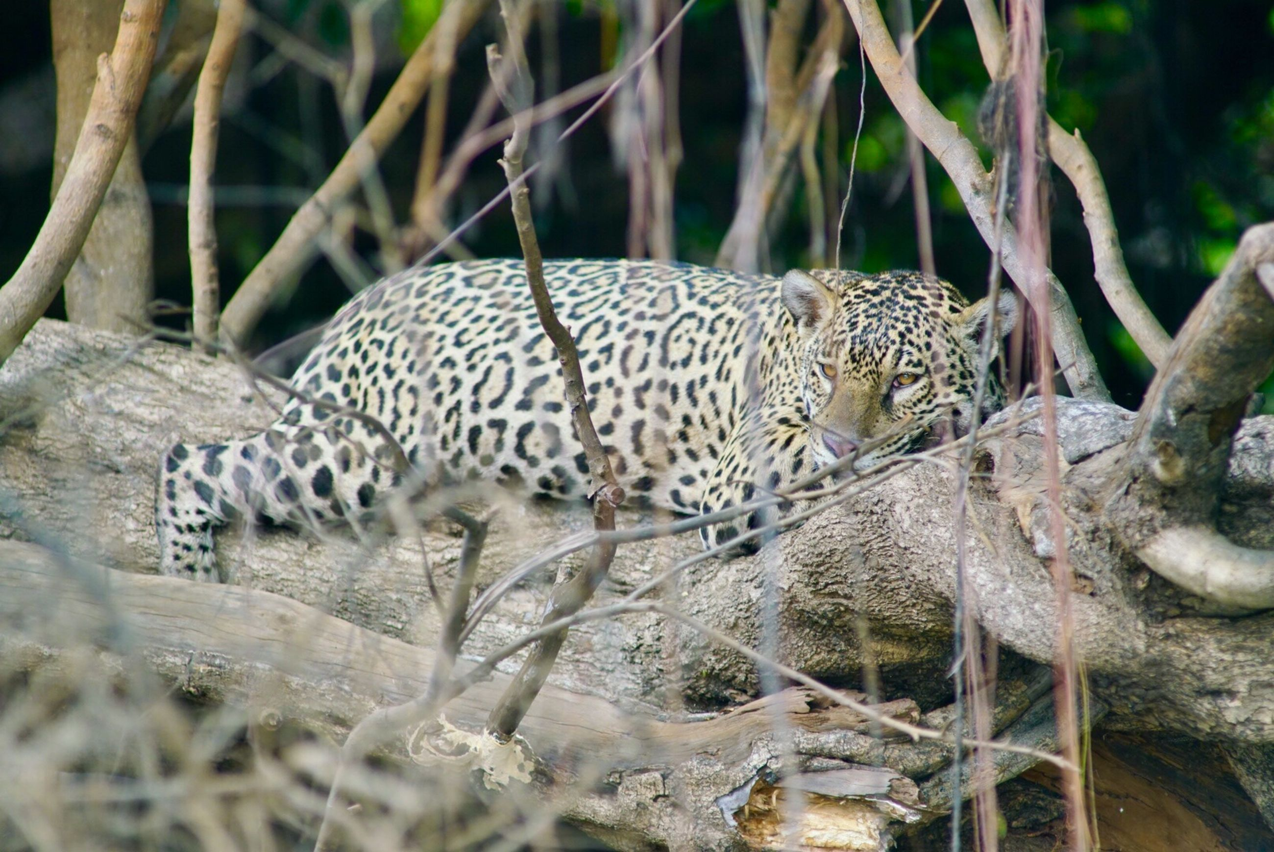 animals in the wild, animal themes, spotted, leopard, one animal, animal wildlife, mammal, day, nature, no people, outdoors, safari animals, cheetah